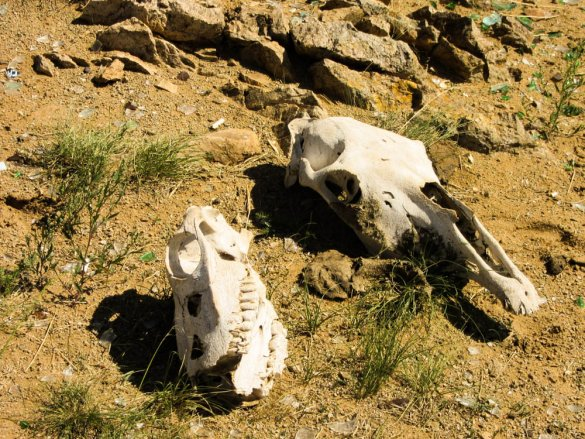 Horse skulls in the Gobi desert