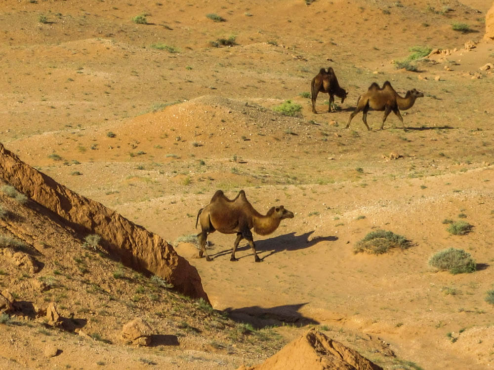Camels near Bayanzag in the Gobi desert in Mongolia