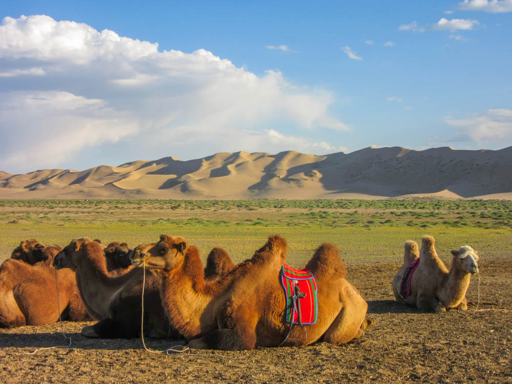 Camels at the slope of Khongoryn Els in the Gobi desert in Mongolia